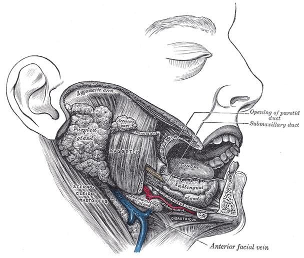 submandibular-glands
