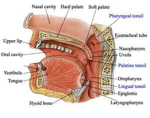 Parts-of-the-throat